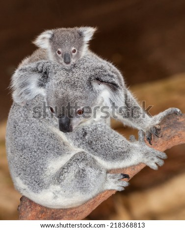 A gorgeous cute koala mum and joey nsw Australia - stock photo