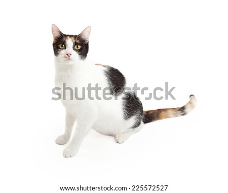A gorgeous domestic short hair calico cat sitting at an angle while looking directly into the camera. - stock photo