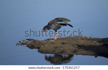 A graceful purple swamp hen porphyria porphyria is     standing on a  mound  in the blue  lake   in Big Swamp  Bunbury western Australia  on a sunny summer morning. - stock photo