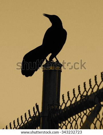 A grackle, or Quiscalus quiscula, perched upon a chain link fence post at dusk, dark sepia tone - stock photo