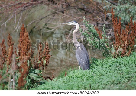 A gray heron standing alert next to a pond in Colorado - stock photo