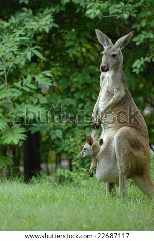 A gray kangaroo stands along with an adorable joey riding in the pouch. - stock photo
