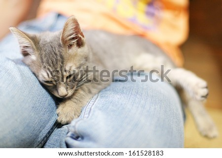 A gray kitten naps on the blue jeans of someone's lap. - stock photo