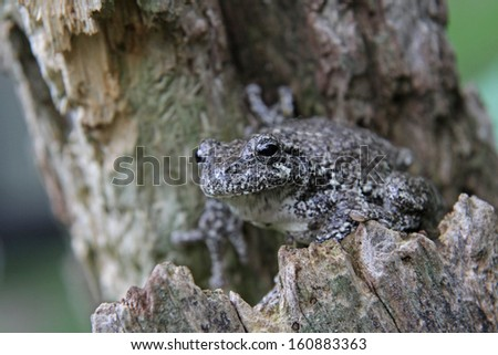 A Gray Tree Frog (Hyla versicolor) sitting in a stump.   - stock photo