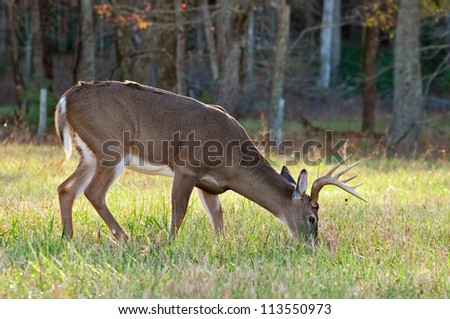 A grazing White Tail Deer. - stock photo