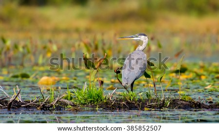 A great blue heron (Ardea herodias) stands motionless while on the hunt in a marsh.   - stock photo