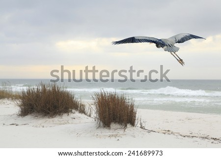 A Great Blue Heron Flies Over a White Sand Beach at Dusk - stock photo