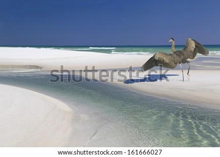 A Great Blue Heron Landing on a Beautiful White Sand Beach - stock photo