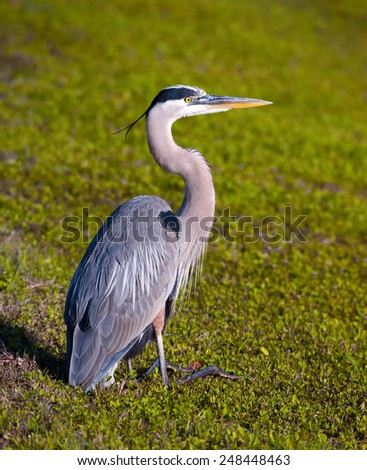 A great blue heron on grass in Florida, full body profile - stock photo