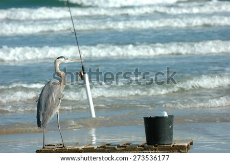A great blue heron standing next to a fishing pole and bait bucket in southern Texas. - stock photo