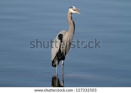 A Great Blue Heron that seems to be laughing at me. - stock photo
