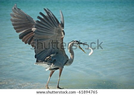 A Great Blue Heron tosses a fish that it has caught into the air on a Florida beach. - stock photo
