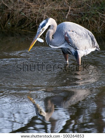 A great blue heron with a fish - stock photo