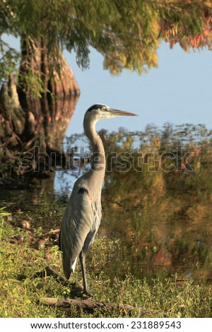 A Great Blue on the Bank of a Cypress Lined Lake in the Fall  - stock photo