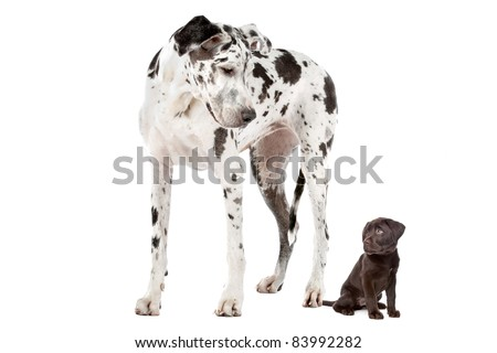 A Great Dane harlequin and a chocolate Labrador puppy in front of a white background - stock photo