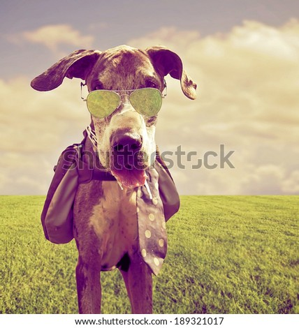 a great dane with a back pack and aviator sunglasses on done with a retro vintage instagram filter - stock photo