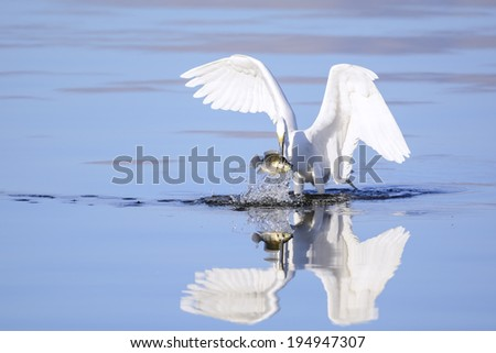 A great egret has just caught a big fish. - stock photo