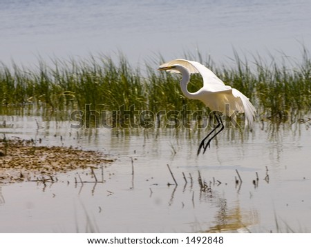 A great egret looks for food along the shore of the Gulf of Mexico - stock photo