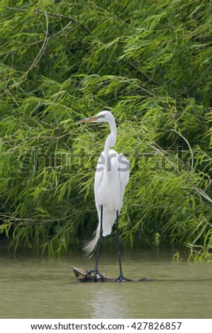 A great egret stands on a rock in a Louisiana marshland, briefly pausing from fishing. - stock photo