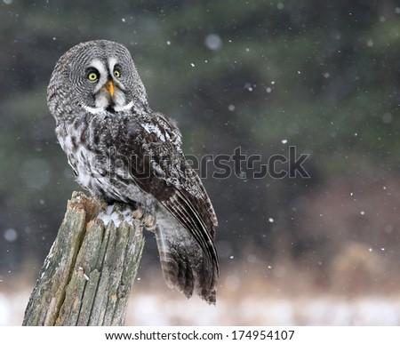 A Great Grey Owl (Strix nebulosa) looking up, while perched on a stump with snow falling in the background.  - stock photo