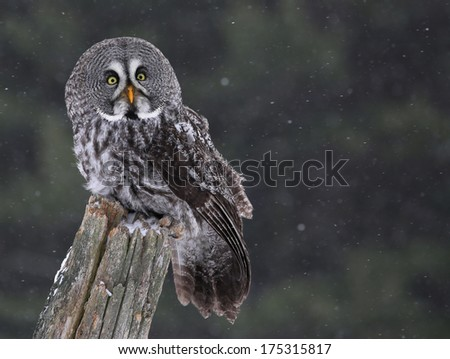 A Great Grey Owl (Strix nebulosa) perched on a stump with snow falling in the background.  - stock photo