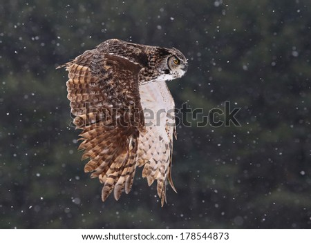 A Great Horned Owl (Bubo virginianus) gliding through the air with snow falling in the background.  - stock photo