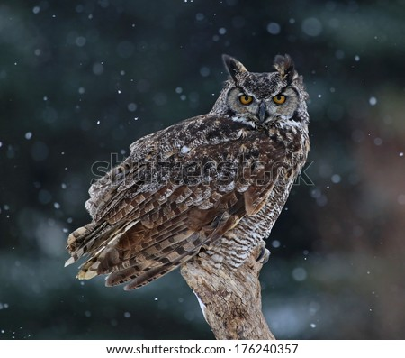 A Great Horned Owl (Bubo virginianus) sitting on a perch with snow falling in the background.  - stock photo