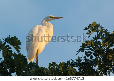 A Great White Egret (Egretta alba) roosting in a tree - stock photo