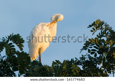 A Great White Egret (Egretta alba) roosting in a tree preening - stock photo