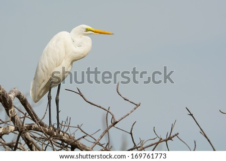 A Great White Egret (Egretta alba) roosting in the mangroves - stock photo