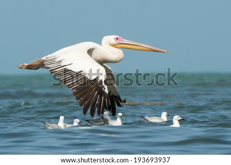 A Great White Pelican (Pelecanus onocrotalus) flying past floating slender-billed gulls - stock photo