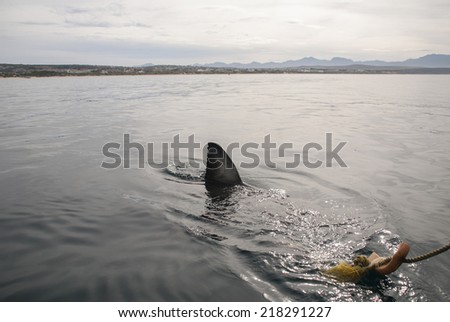 A great white shark approaches the bait in Gansbaai, South Africa - stock photo