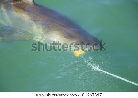A Great White Shark biting a decoy and bait in the ocean - stock photo