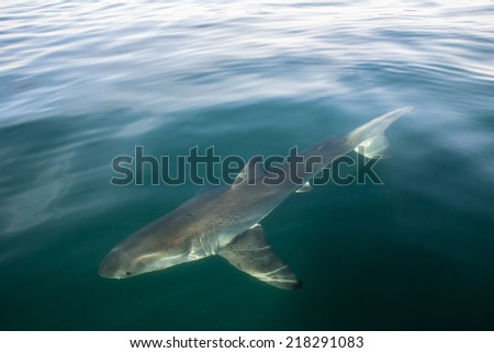 A great white shark underwater in Gansbaai, South Africa - stock photo