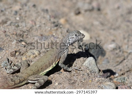 A Greater Earless Lizard (Cophosaurus texanus), shot Tuscon, Arizona, United States of America. - stock photo