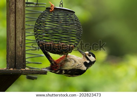 A greater spotted woodpecker (dendrocopus major) feeding on a bird table - stock photo