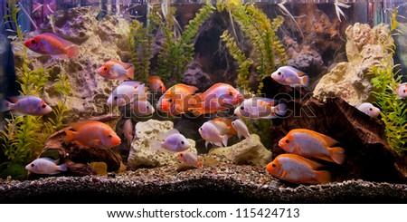 A green beautiful planted tropical freshwater aquarium - stock photo