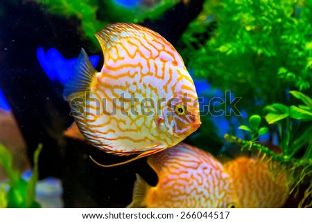 Discus tank stock photos images pictures shutterstock for Colorful freshwater aquarium fish