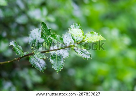 A green branch of organic Christmas tree poinsettia flower in the garden after the rain - stock photo