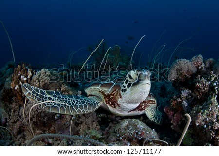 A Green (Chelonia mydas) lies on a tropical Pacific coral reef.  This endangered species is widespread in the tropics. - stock photo