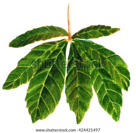 A green chestnut leaf, hand painted in watercolor on white background - stock photo