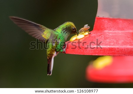 A Green-crowned Brilliant (Heliodoxa jacula) with a bee on a feeder. - stock photo