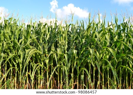A green field of corn growing up - stock photo