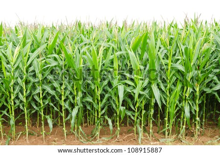A green field of corn growing up at Thailand - stock photo