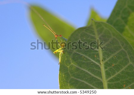 A green grasshopper looks over the edge of a leaf on a sunny day. - stock photo