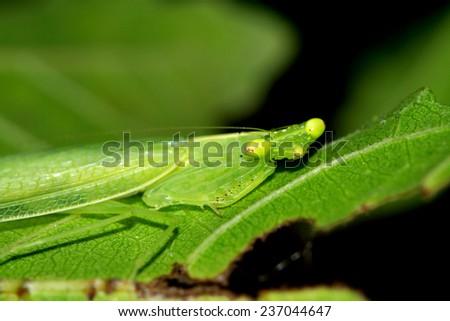 A green grasshopper on leaf - stock photo