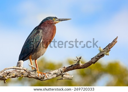 """A green heron, Butorides virescens, perches on a branch at JN """"Ding"""" Darling National Wildlife Refuge on Florida's Sanibel Island. - stock photo"""