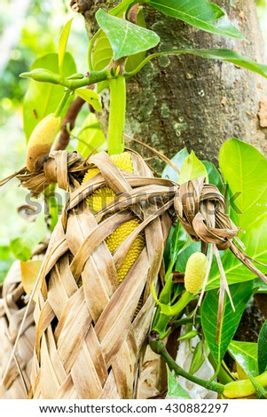 A green jackfruit is covered with a leaf basket to protect from any pests. The basket is simply woven from coconut leaves. The jackfruits grow out the trunk, and hang until rot, or collected. - stock photo