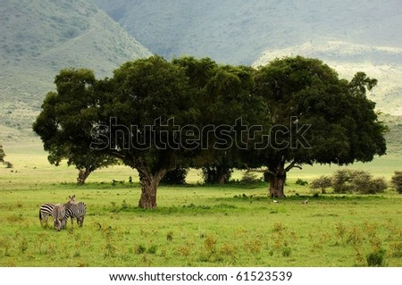 A green landscape in a crater of Ngoro ngoro with the grazed pair zebras. - stock photo