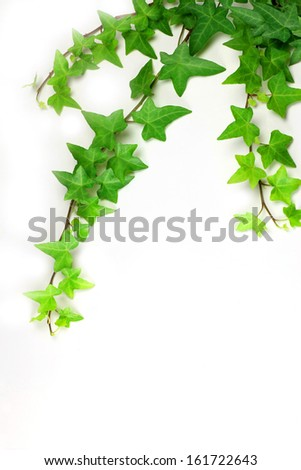 A green leafy vine creeps over a white background. - stock photo